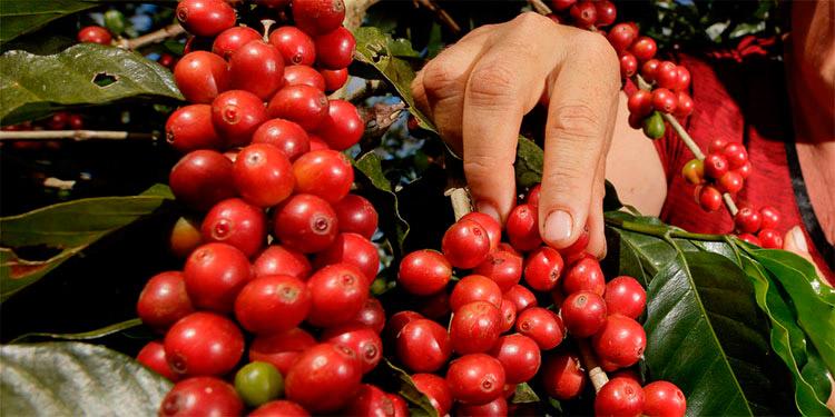 El ciclo cafetero avanza en su quinto mes de cosecha a nivel de 110 mil familias distribuidas en 15 departamentos de Honduras.