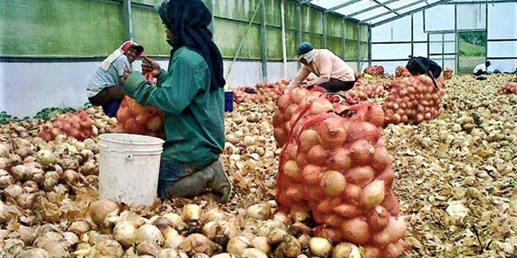 La cebolla, el chile y tomate son las hortalizas de mayor demanda y rentabilidad para productores hondureños.