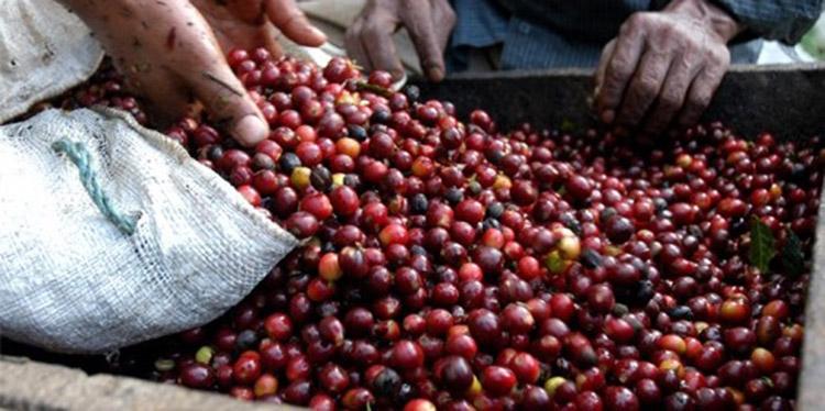 El corte de grano a avanzado en un 80 por ciento, mientras la exportación alcanza un 20 por ciento.
