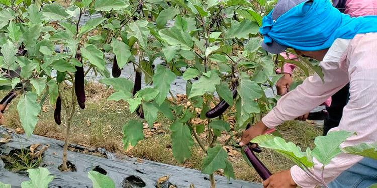 Fortalecen combate a plaga que afecta los vegetales ...