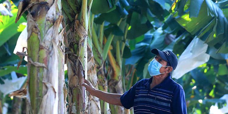Según el productor, Lucrecio Díaz, el contar con un sistema de riego les facilita el acceso a créditos.