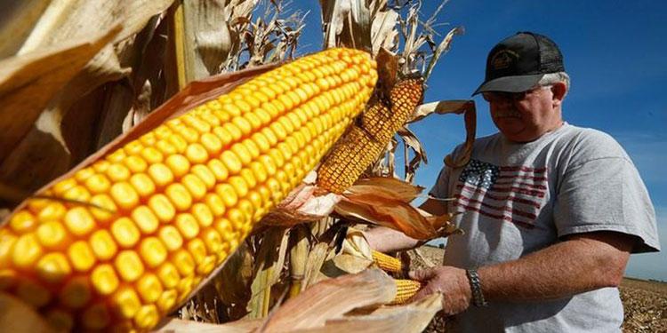 Se desconocen los efectos que tendrá en Honduras el aumento internacional de la demanda de maíz.