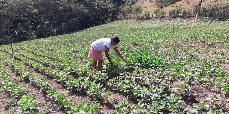 Las mujeres son parte del desarrollo agrícola de Honduras.