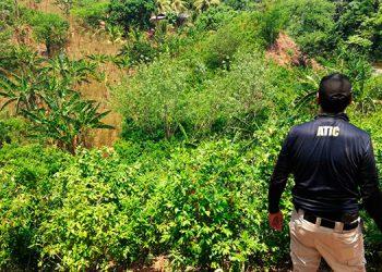 Proceden a la destrucción de cultivos de hojas de coca en Colón