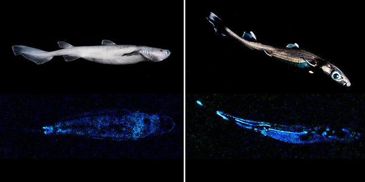 Científicos encuentran en Nueva Zelanda el tiburón luminoso más grande del mundo