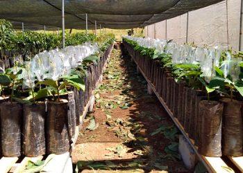 Se espera que dentro de 4 años, ya con las plantas adultas, se puedan obtener plantaciones madres.