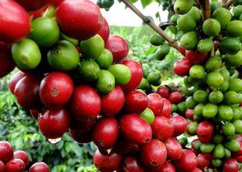 Un total de 55 países compran cada año el café hondureño, generalmente un 65% se ha vendido a Europa.