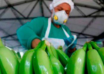El banano se produce en los departamentos mayormente afectados por las tormentas tropicales, Yoro, Colón y Cortés.