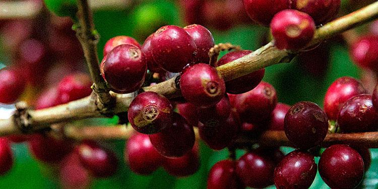 Del 1 de enero hasta el pasado 15 de abril del 2021 las exportaciones de café dejaron 550.2 millones de dólares en divisas.