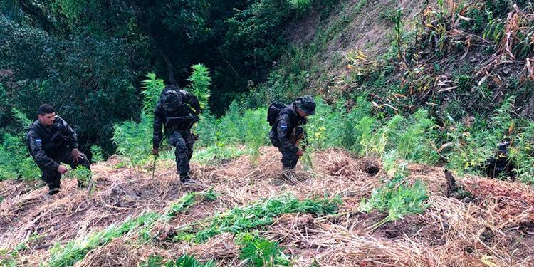 Los militares se adentraron hoy en una agreste zona montañosa, donde se encontraba sembradas varias plantas de marihuana.