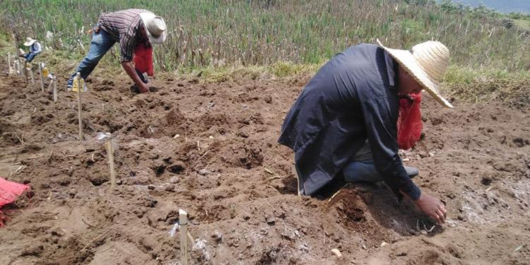 Las variedades se adaptan a las condiciones agronómicas del cultivo como suelo, clima y altura para el abastecimiento de semilla de calidad.