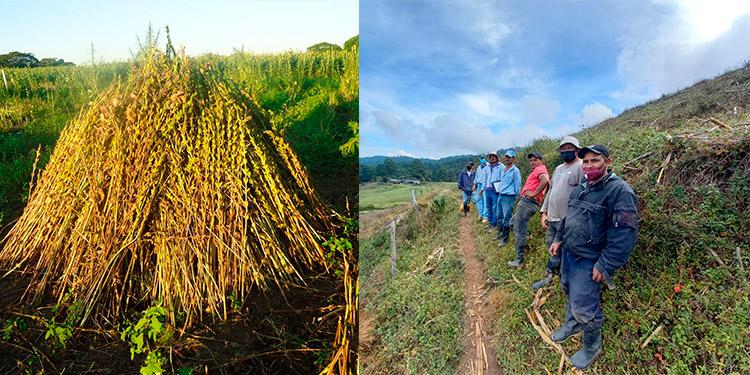 Alrededor de 35 técnicos y productores se capacitan para la producción tecnificada de ajonjolí.