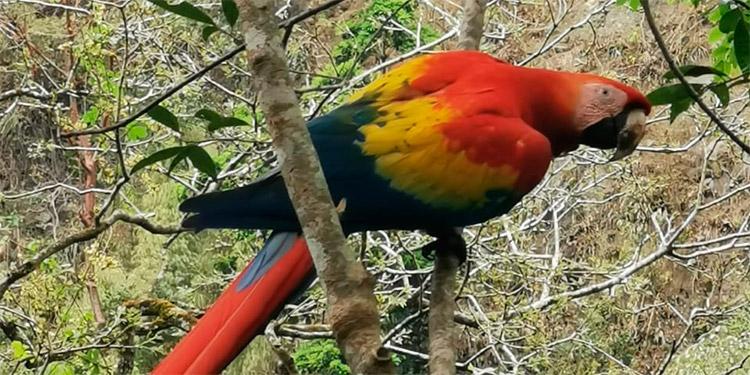 Más de 70 ejemplares del Ave Nacional de Honduras han sido puestos en libertad en el Valle Sagrado de la Guara Roja.