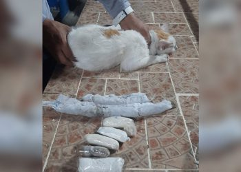 Sorprenden en Panamá a «narcogato» intentando pasar droga a una cárcel