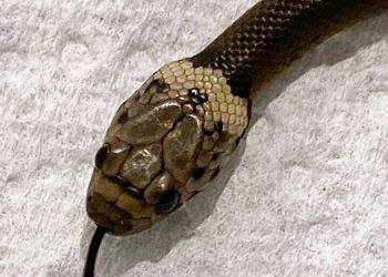 Hombre encuentra serpiente en lechuga comprada en supermercado