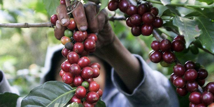 En el registro oficial de Ihcafé se encuentran inscritas más de 120,000 familias productoras.