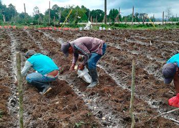 El 90% de esta producción de papa se destina para el consumo y el resto para semilla.