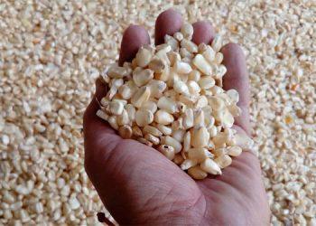 El maíz es un producto de alto consumo entre la población hondureña y la base de su alimentación.
