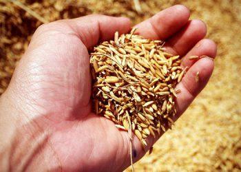 El consumo per cápita anual de arroz es de 34 libras, el tercer lugar de importancia detrás del maíz y los frijoles.