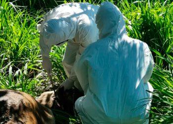 La peligrosa enfermedad no solo afecta al ganado, ya que si no se controla, puede afectar a las personas.
