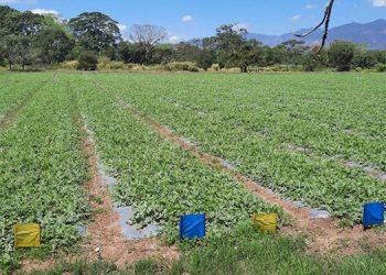 Pese a la pandemia, la Universidad de Agricultura ha logrado mantener una buena producción variada de hortalizas y granos básicos.