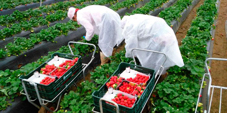 """Gracias al acuerdo entre Honduras y España, los """"catrachos"""" del rubro agrícola podrán laborar en el país europeo."""