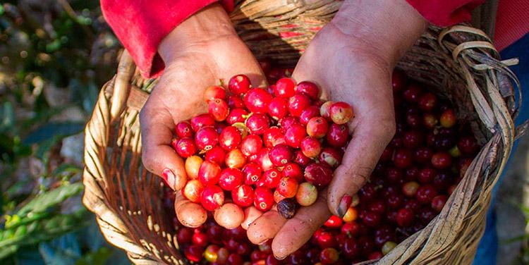 La temporada oficial de corte de grano aromático arranca cada 1 de octubre y finaliza el 30 de septiembre, con aporte de un millón de empleos.