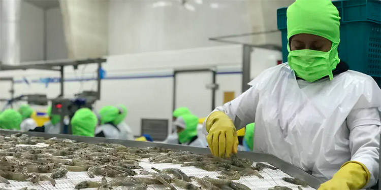 Durante el año 2019 se exportaron cerca de 68.8 millones de libras de camarón al mercado internacional.