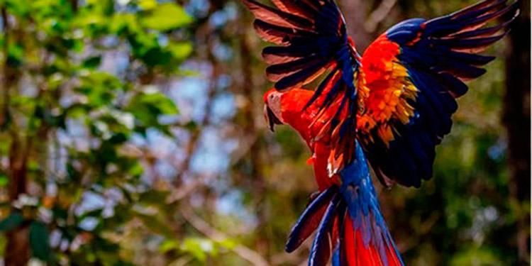Con la liberación de las guacamayas buscan fomentar la preservación de las especies en la zona de Copán.