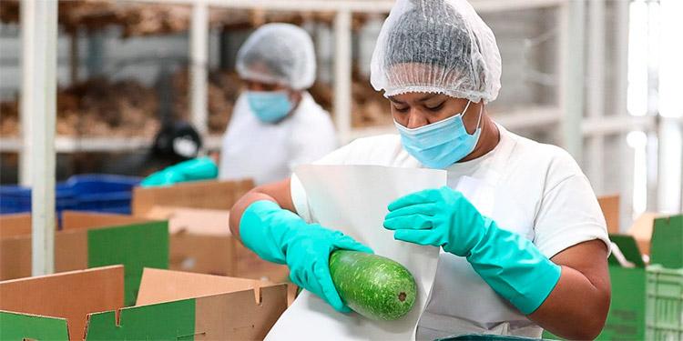 La producción de aguacate dinamiza la economía en 17 departamentos donde se cultiva la fruta para consumo interno y de exportación.