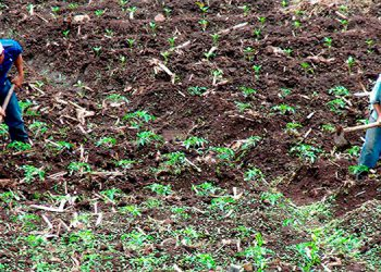 Campesinos ahora se preparan para el ciclo de postrera en metas de producción de frijol y de maíz.