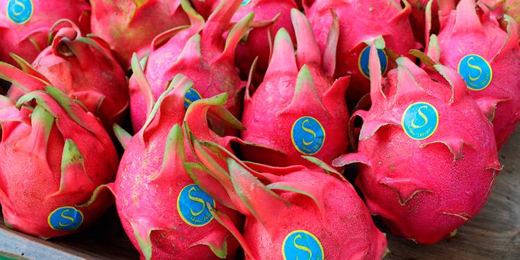 Más de dos mil productores aprovechan cultivando pitahaya en distintas regiones secas del país.