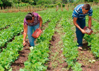 Unos 150,000 quintales de maíz y frijol es la reserva estratégica del Instituto Hondureño de Mercadeo Agrícola (IHMA).