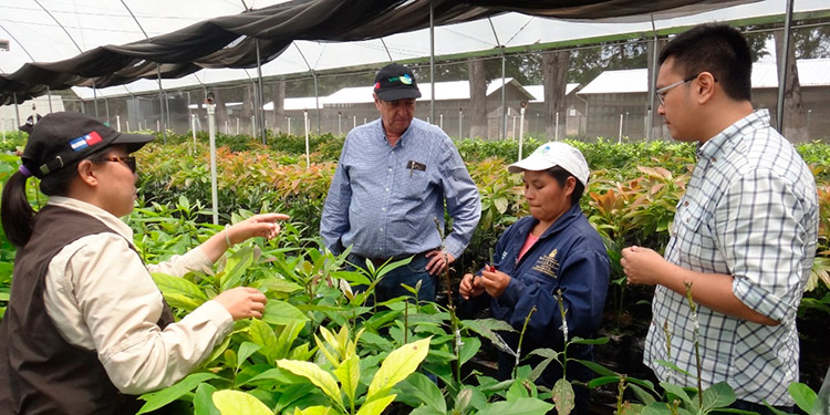 Honduras produce 25 millones de libras de aguacate al año y la meta de los productores es cultivar cuatro mil manzanas.