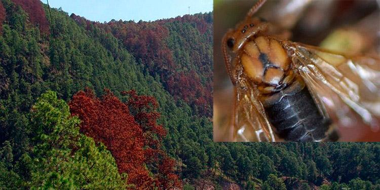 Las autoridades del ICF anunciaron que se encuentran en etapa de estudio para conocer la forma en que la mosca se devora los bosques.