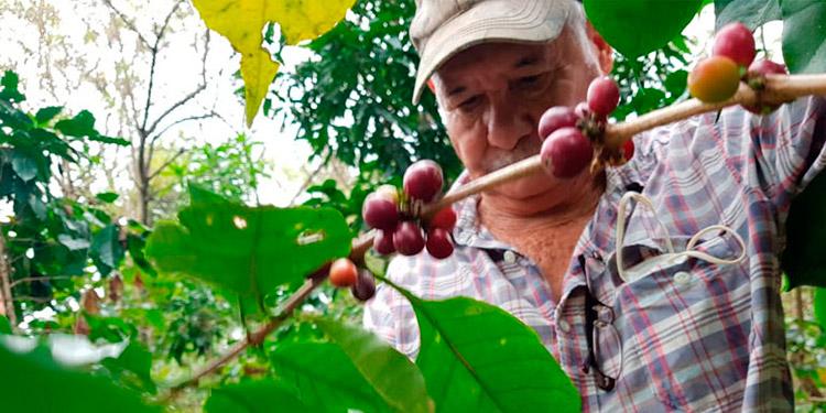 Brasil ha perdido 4 millones de quintales de café por las heladas.