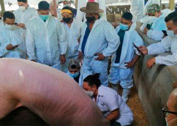 El proyecto porcino busca mejorar la genética, para renovar el pie de cría hondureño.