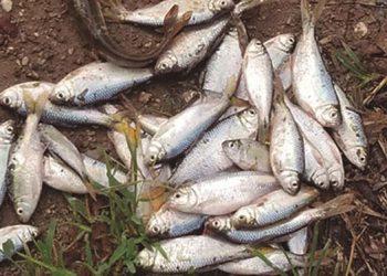 Los peces que caen son una especie de sardina conocida como pez lancha.