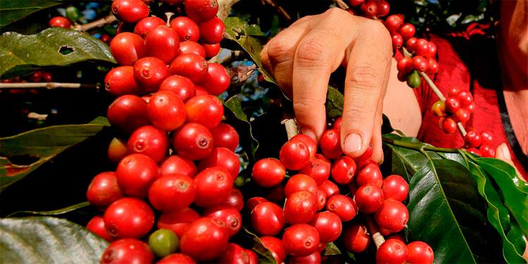 En los últimos años la cosecha cafetalera de Honduras ha caído en tres millones de quintales, atribuido a enfermedades como la roya y el cambio climático.