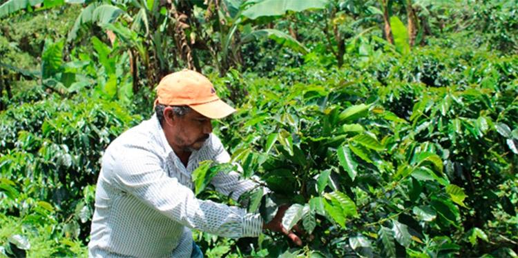 Los productores de café, aplican los conocimientos trasmitidos por el PROCAGICA.