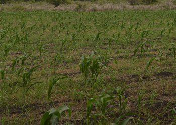 Maizales marchitos por falta de agua en el altiplano de Danlí.