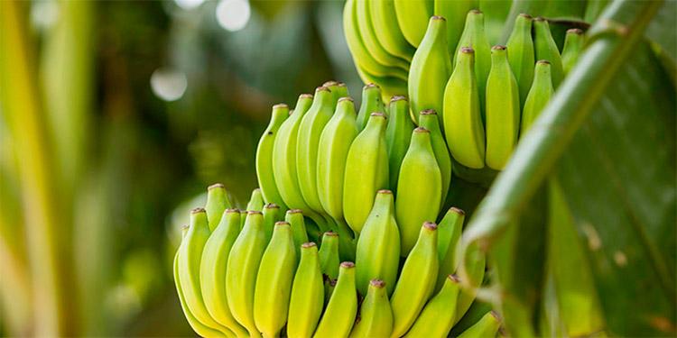 Para diciembre se prevé que sean sembradas 25 mil hectáreas de banano para reactivar la exportación.