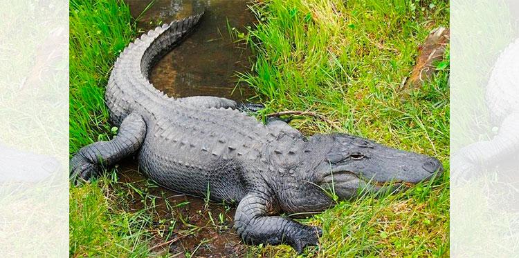Un hombre de Florida herido de gravedad tras ser atacado por un caimán –  Diario La Tribuna