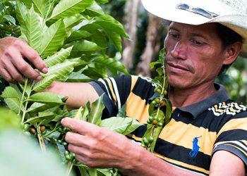 Pronostican una producción de café el próximo año similar a la cosecha actual, debido a los impactos por pandemia y tormentas tropicales.