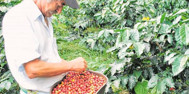De continuar el mal clima en Brasil, el precio promedio del quintal de café se cotizaría por arriba de 150 dólares proyectan los exportadores.