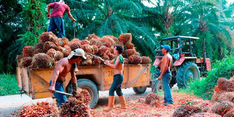 La cadena productiva de la palma en Honduras está conformada por 7,307 productores.
