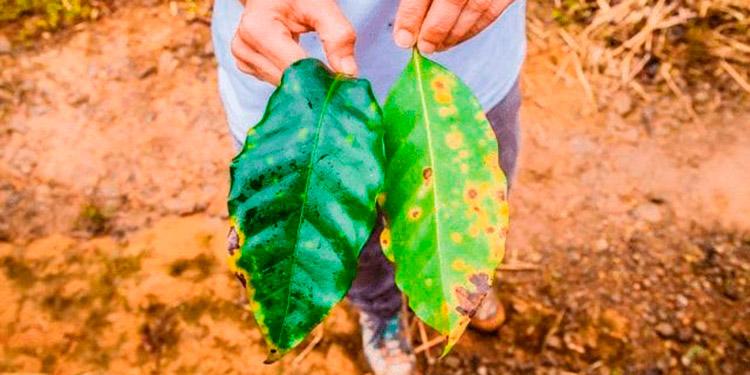 La roya disminuye la producción drásticamente porque el contenido energético de las hojas de los cultivos se ve afectado y esta es responsable de la fotosíntesis, respiración y transpiración.