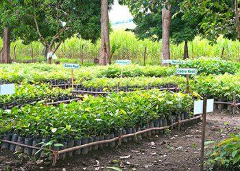 La agroindustria azucarera de Honduras produce más de 430,000 plantas al año.