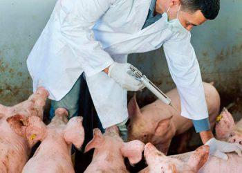 Llaman a extremar los controles en los puntos fronterizos para evitar el ingreso de la peste porcina.
