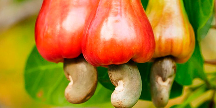 El marañón crece en climas tropicales como el de Honduras.